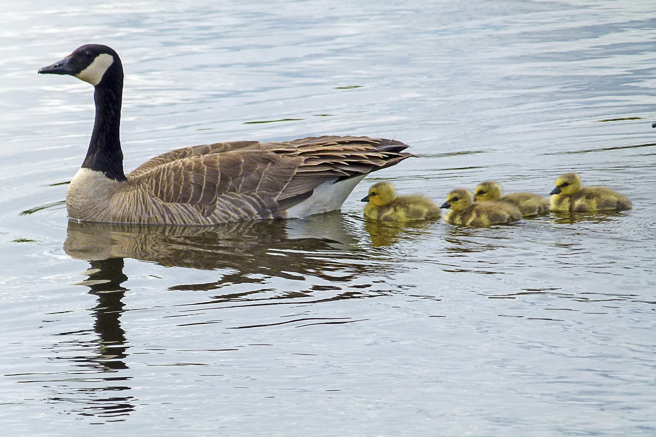 canada-goose-436090_1280